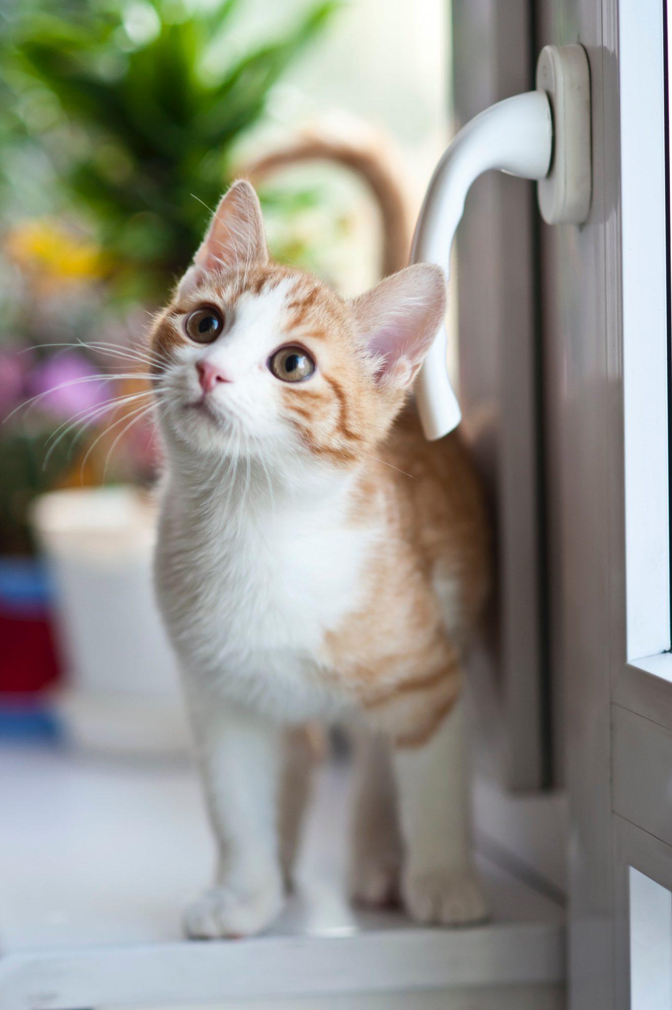 orange tabby kitty kat